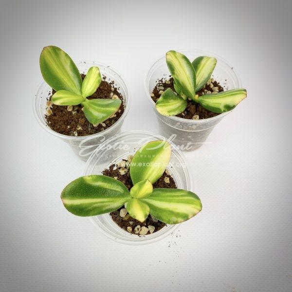 crassula ovata f.variegata cv Mikaery Bijin