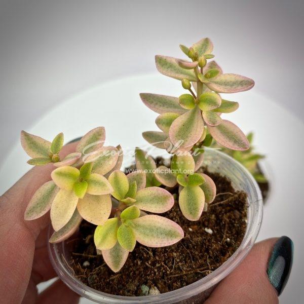 Crassula volkensii variegata