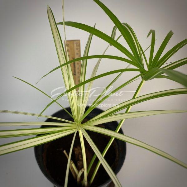 Cyperus involucratus syn Cyperus alternifolius variegated