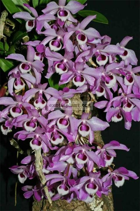 465 Phalaenopsis parishii ( JQ-196) Fragrant BS