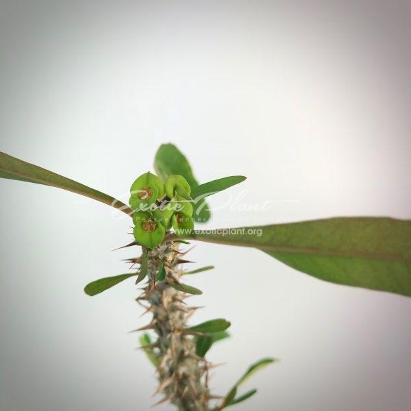 euphorbia brachyphylla