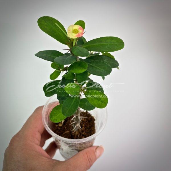 euphorbia dwarf form Strawberry Jam Splash