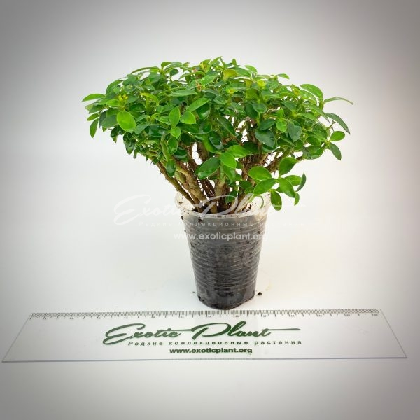 Euphorbia milli dwarf form