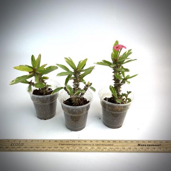 Euphorbia millii Magenta Madness