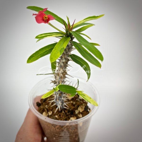 euphorbia rossi variegated