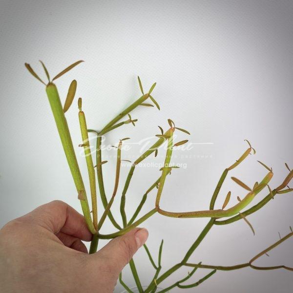 Euphorbia tirucalli cv Firesticks