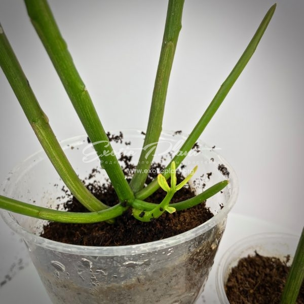 Euphorbia tirucalli variegated