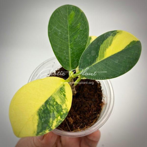 ficus cv Green Island variegated#3
