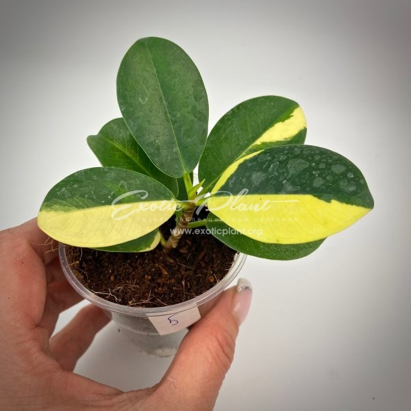 ficus cv Green Island variegated#5