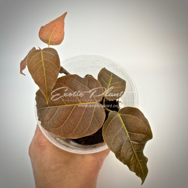 ficus sp brown leave