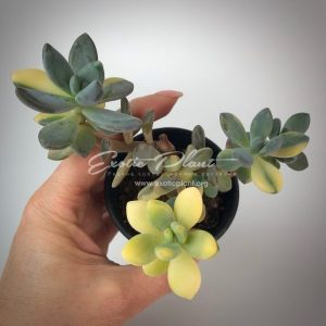 Graptopetalum Amethystinum Variegated