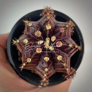 Gymnocalycium cv Black Purple гимнокалициум Блэк Перпл