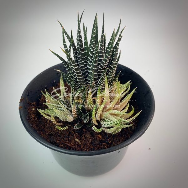 haworthia attenuata White Bird