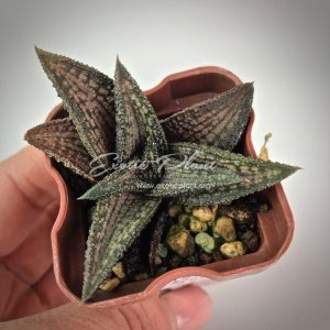 Haworthia cv Kintaikyo Хавортия Кинтакио