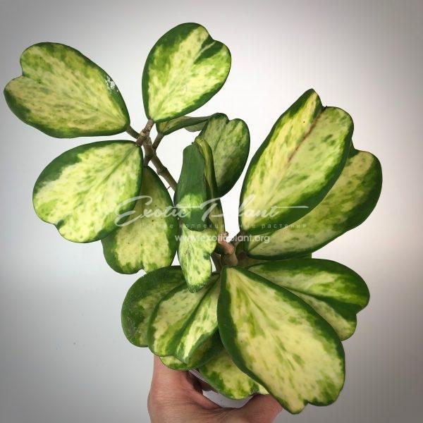 Hoya 340 kerrii variegata Chanrit s Choice