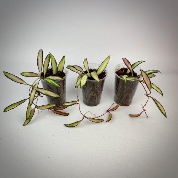 Hoya kentiana variegated