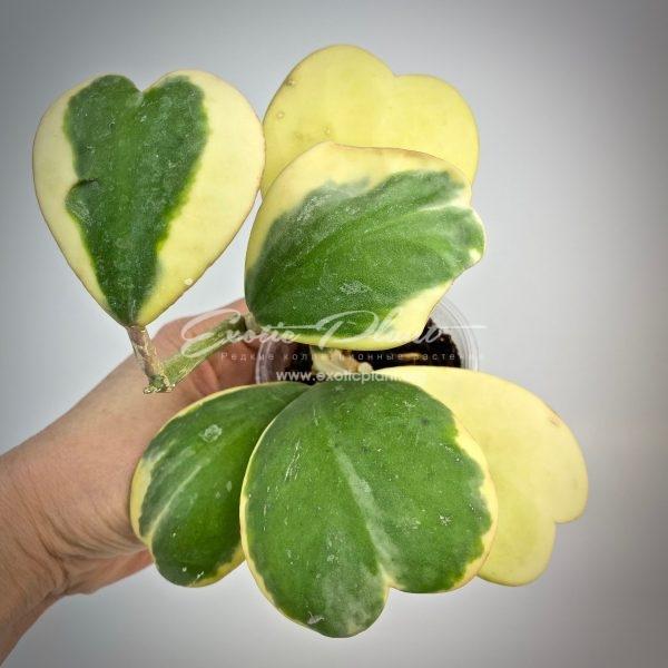 Hoya kerrii var.albo-marginata