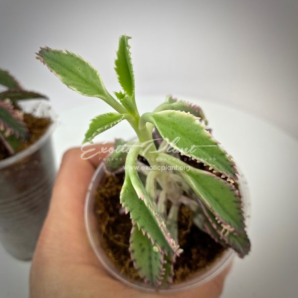 kalanchoe tubiflora variegated