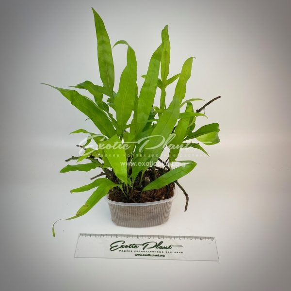 Microsorum punctatum cv. Liciniatum