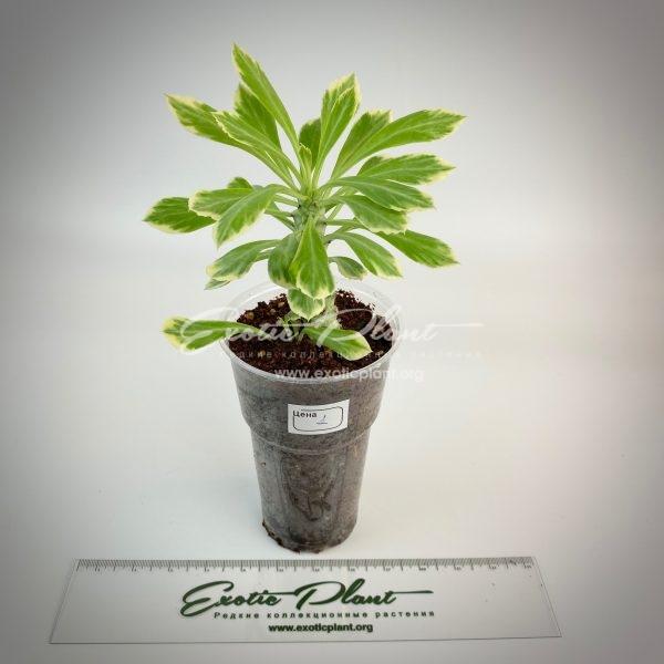 Monadenium lurdiae variegated#1