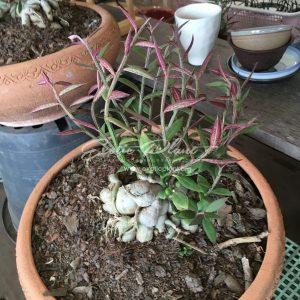 monadenium montanum