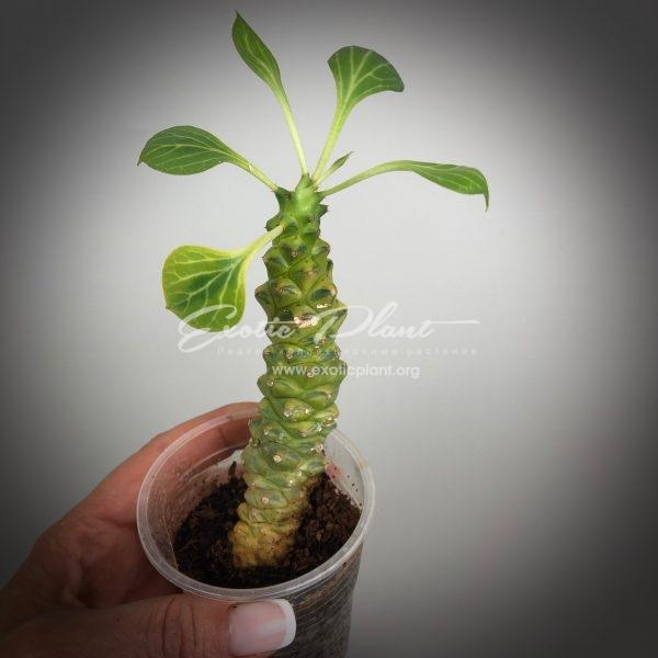 Monadenium ritchiei variegated