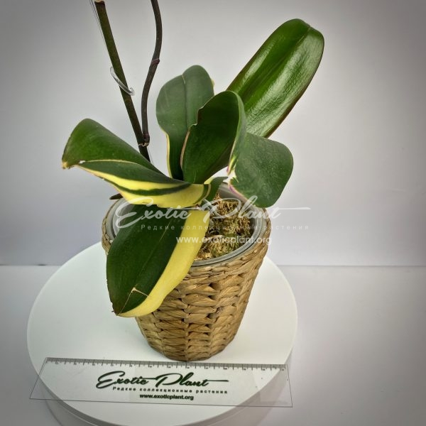phalaenopsis Pearl Beauty variegated