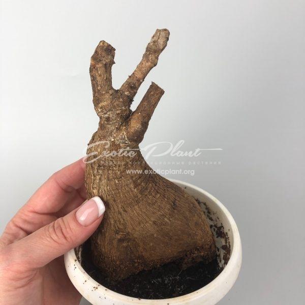 philanthus mirabilis / филантус мирабилис