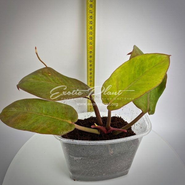 Philodendron erubescens Gold