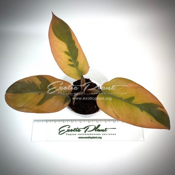 philodendron Black Cardinal (№6) variegated