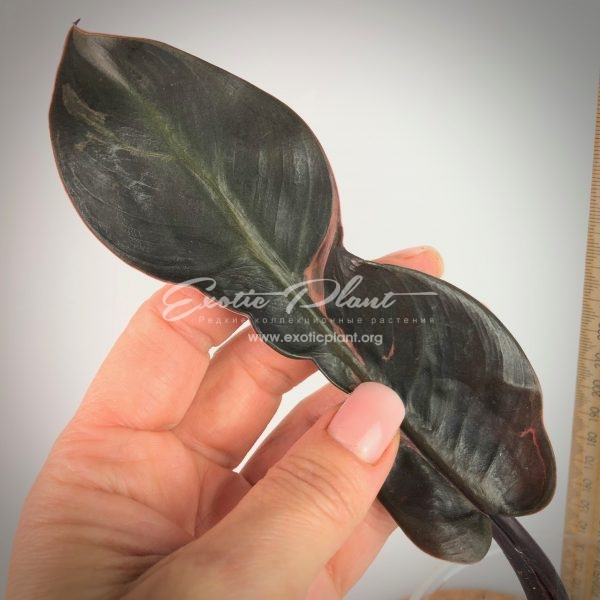 Philodendron Black Cardinal Mutant#2