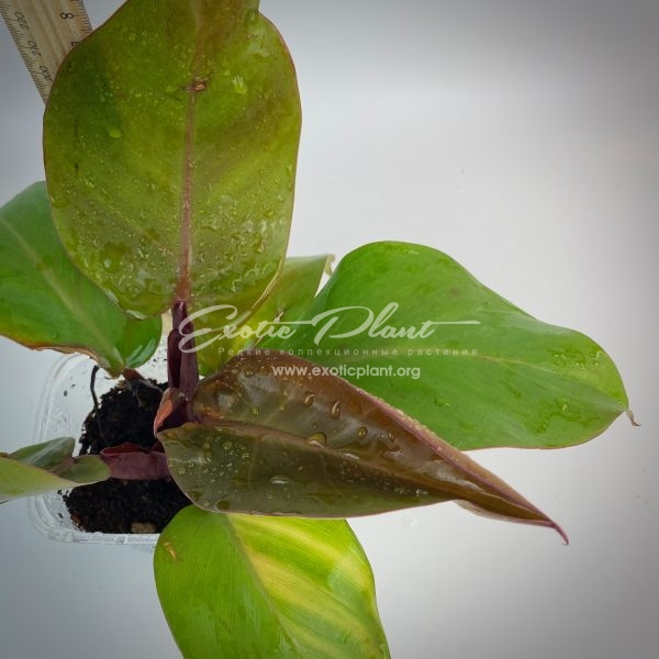Philodendron Dang Ampon