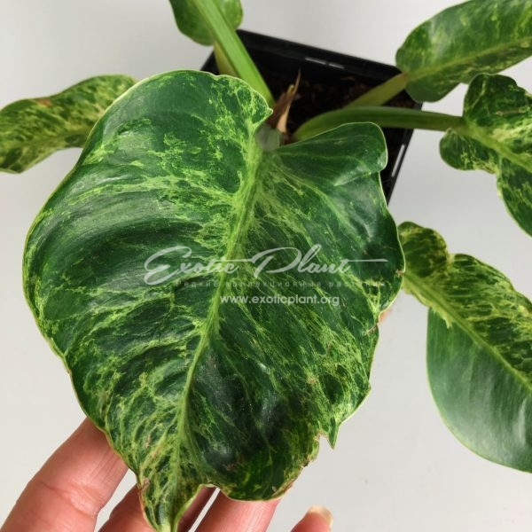 Philodendron Green Granito / филодендрон Грин Гранито