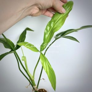 philodendron holtonianum
