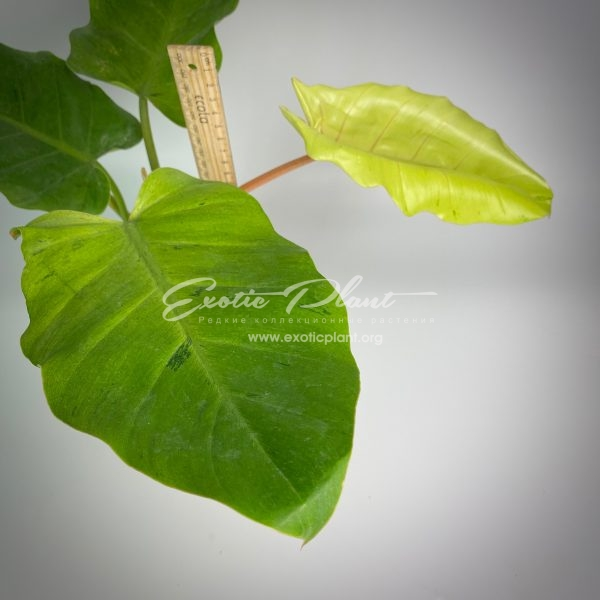 Philodendron Jungle Fever variegated (T02) = philodendron Loa Spot variegated