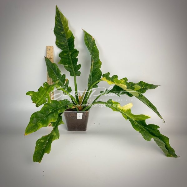 Philodendron Ring of Fire