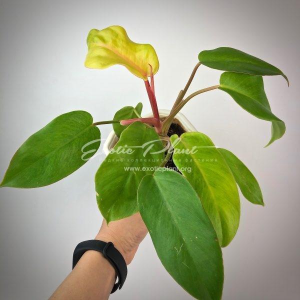 philodendron serratum Gold