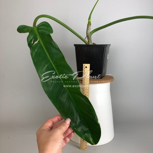 Philodendron sp.(T10) / филодендрон сп (Т10)