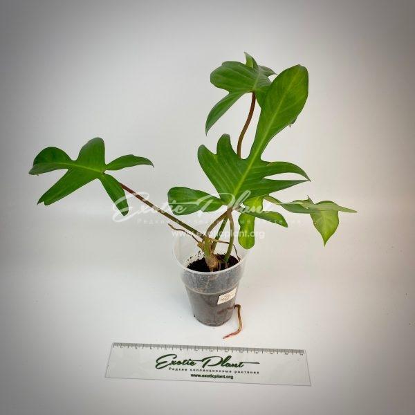 Philodendron squamiferum Florida Alba