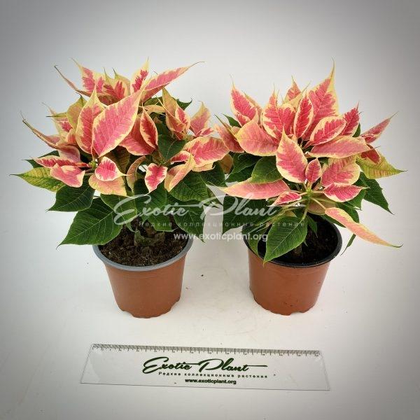 Poinsettia Euphorbia pulcherrima Beauty Marble