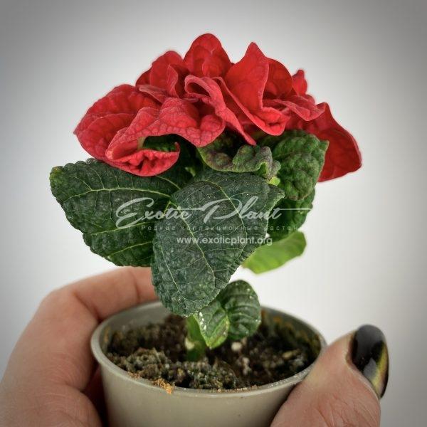 Poinsettia Euphorbia pulcherrima Winter Rose