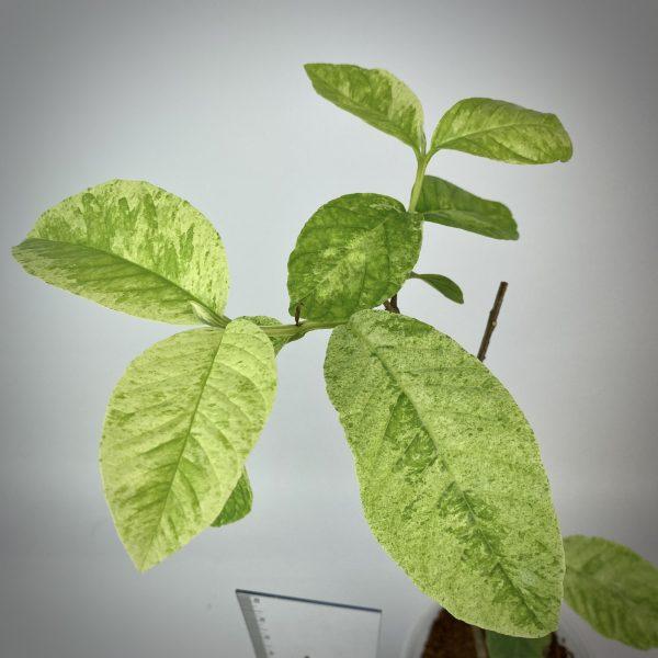 Psidium guajava Paen See Thong variegated