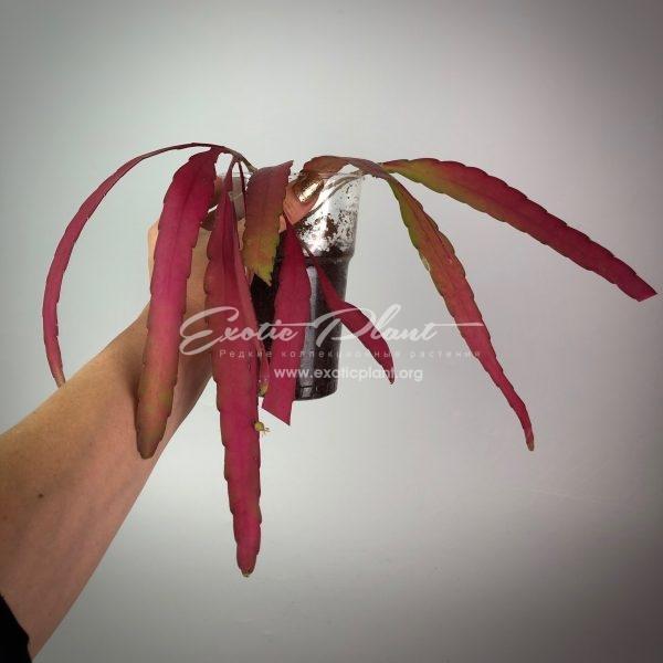 rhispalis ramulosa (red rhipsalis)#2