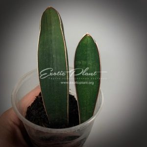 sansevieria 152.1 hallii «Super Blue Bat»