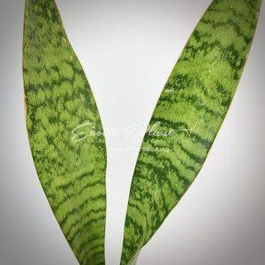 sansevieria 189.2 aubrytiana blue