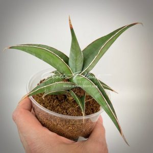 sansevieria 268 pinguicula «Longiflora»