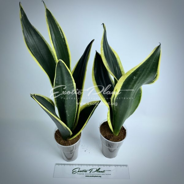 sansevieria Black and Gold