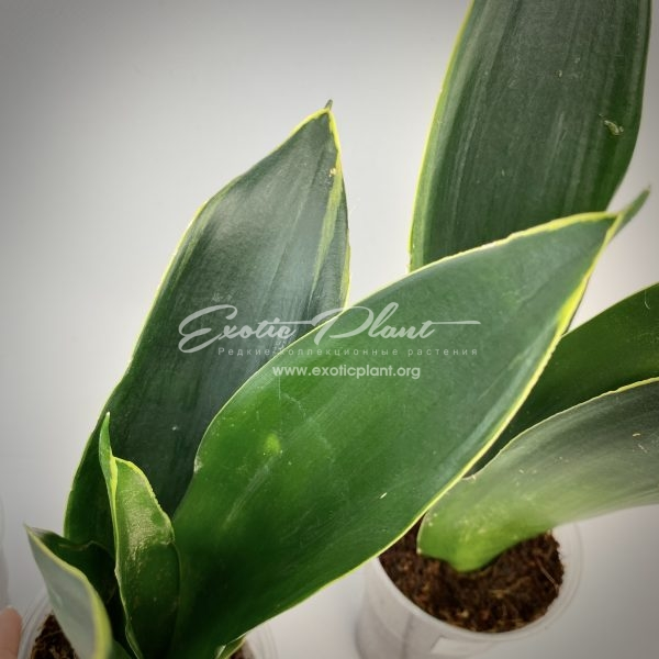 sansevieria superba Black variegated