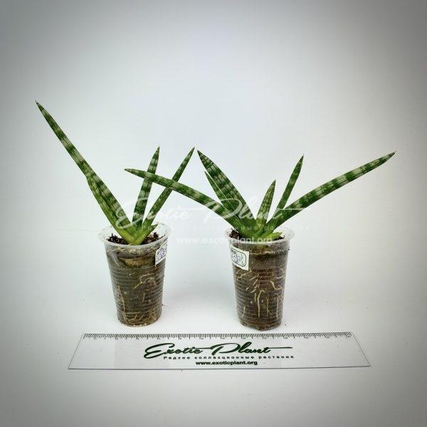 sansevieria Vitch hybrid (boncel mutation)