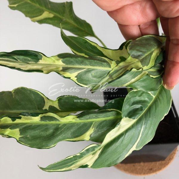 Spathiphyllum hybrid ex Indonesia#1 / Спатифиллум гибрид экс Индонезия